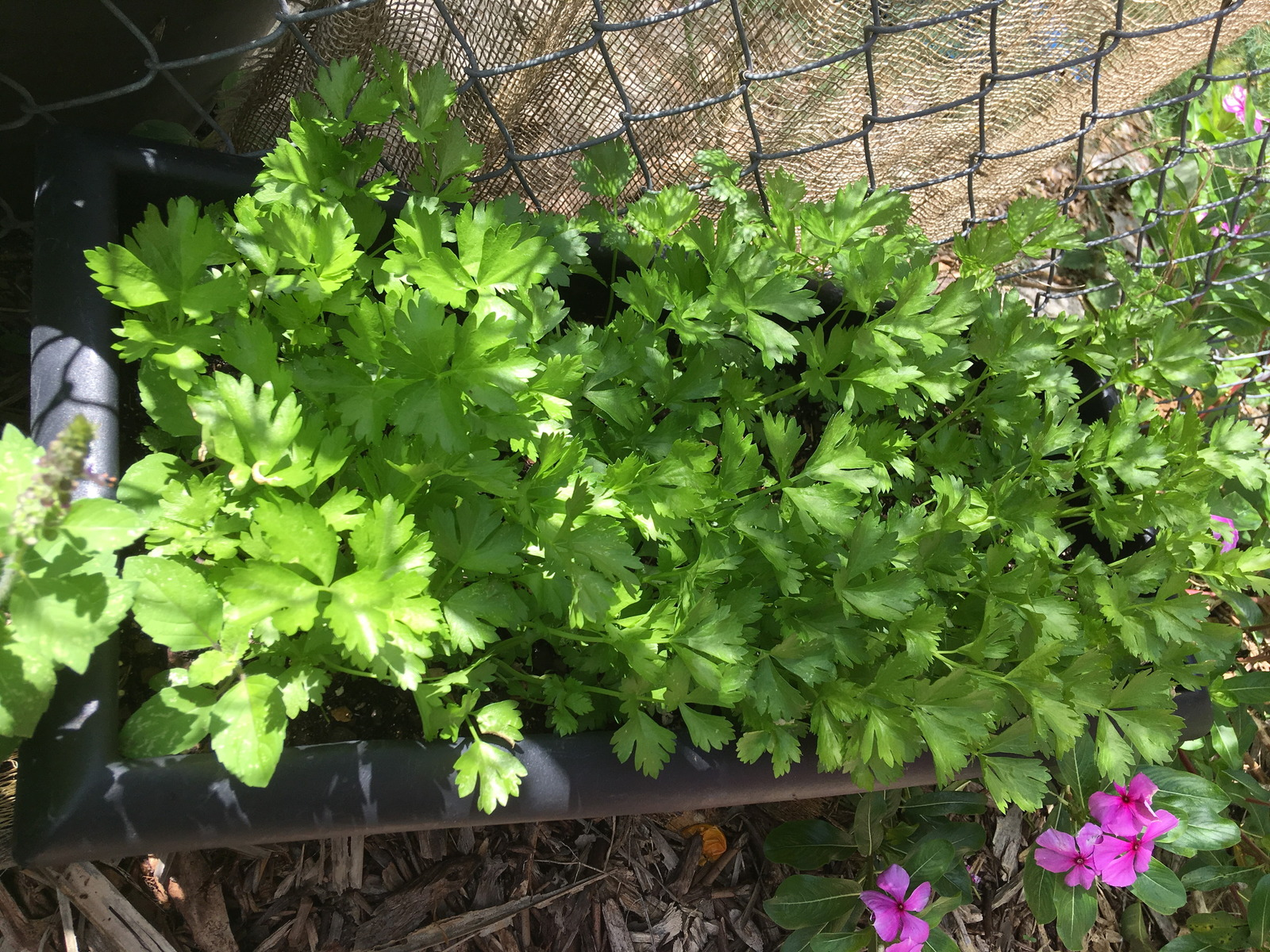 italian parsley.jpg