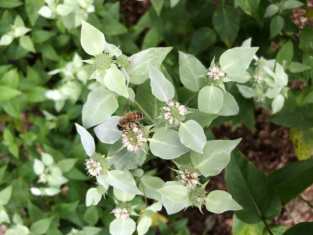 Honey Bee on Mountain Mint.jpg