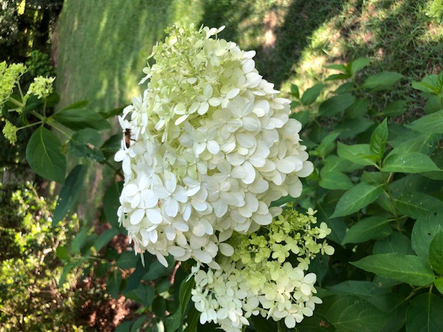 Honeybee on a Lime Light Hydrangea.jpg