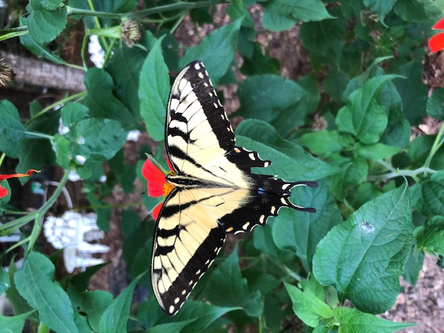 Eastern Tiger Swallowtail 1.jpg