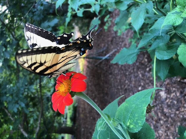 Easter Tiger Swallowtail 2.jpg