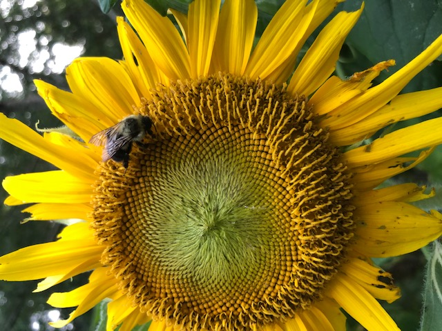 Bumblebee on Sunflower 1.jpg