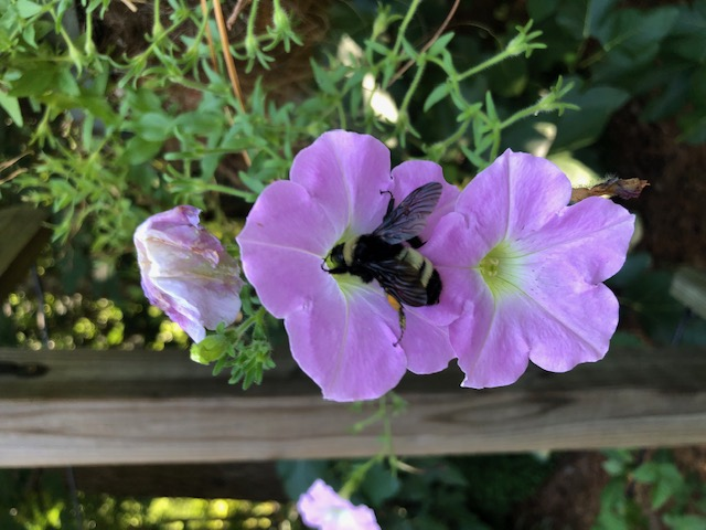 Bumblebee on Wave Petunia.jpg